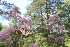 Papillon montant Photographie stock libre de droits