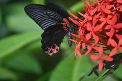 Papillon mormon à ailes magnifique d'écarlate sur les fleurs rouges Photos stock