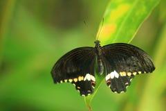 Papillon mormon commun photographie stock