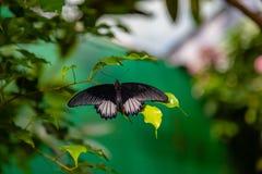 Papillon mormon de machaon d'écarlate étant perché sur une feuille image libre de droits
