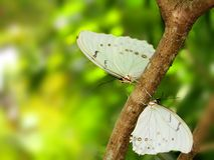 Papillon, Morphos blanc sur l'arbre Images stock