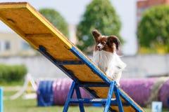 Papillon na totter na psiej zwinność sporta rywalizacji obrazy royalty free