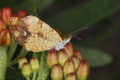 Papillon nacré femelle de Crescentspot sur le Milkweed de papillon Photographie stock