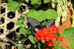 Papillon noir avec l'accent rouge sur le géranium, Sekha, Népal photographie stock libre de droits