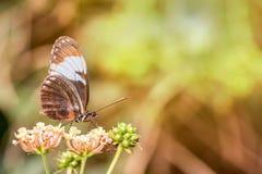 Papillon noir d'aile Photographie stock libre de droits