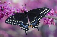 Papillon noir de machaon sur un arbre fleurissant de redbud photo stock