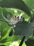 Papillon noir et blanc Photographie stock libre de droits