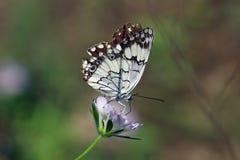 Papillon noir et blanc images libres de droits