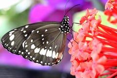 Papillon noir et blanc de couronne d'Australie Images stock