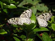 Papillon noir et blanc de nymphe d'arbre sur un arbuste Photographie stock