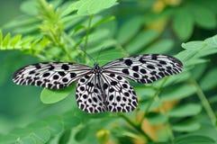 Papillon noir et blanc de tache Image libre de droits