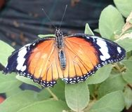 Papillon noir et blanc orange Image stock