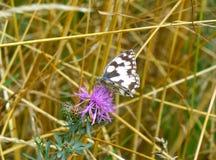 Papillon noir et blanc se reposant sur la fleur Images libres de droits