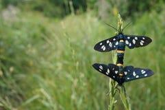 Papillon noir et blanc sur l'herbe Photographie stock libre de droits