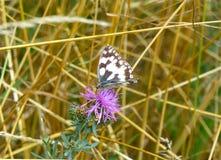 Papillon noir et blanc sur la fleur Photos stock