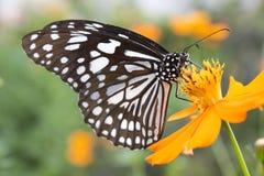 Papillon noir et blanc sur la fleur jaune Image stock