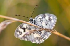 Papillon noir et blanc sur une lame Photos stock
