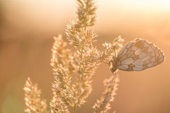 Papillon noir et blanc sur une lame d'herbe au lever de soleil Images stock