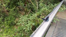 Papillon noir et bleu 2 Image stock