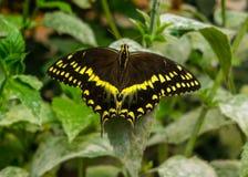 Papillon noir et jaune masculin de machaon image libre de droits