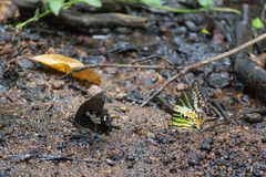 Papillon noir et jaune sur la plage Photos stock