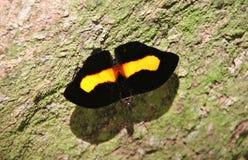 Papillon noir et jaune sur un arbre avec de la mousse Image libre de droits
