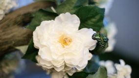 Papillon noir et vert sur la fleur banque de vidéos