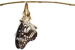 Papillon Noir-veiné d'isolement de sergent et x28 ; Ranga d'Athyma et x29 ; emergi Images stock