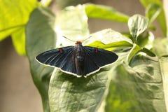 Papillon noir velouté image stock