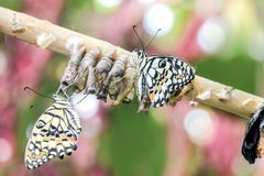 Papillon nouveau-né avec des chrysalides Images libres de droits