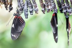 Papillon nouveau-né avec des chrysalides Images stock