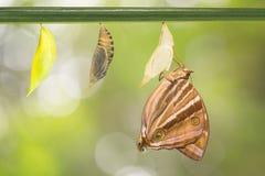 Papillon nouveau-né de Palmking Photographie stock libre de droits