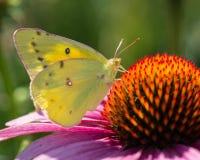 Papillon opacifié de Sulpher alimentant sur le coneflower pourpre, ailes  photographie stock