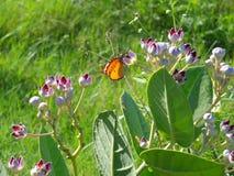 Papillon orange photographie stock
