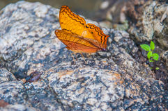 Papillon orange Photo libre de droits