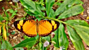 Papillon orange Photo stock