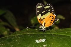 Papillon orange alimentant sur la feuille Images stock