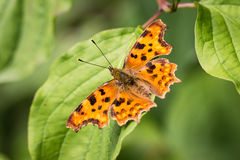 Papillon orange avec des anthracnoses sur une feuille verte Photos libres de droits