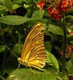 Papillon orange avec les ailes fermées sur une grande feuille verte photos stock