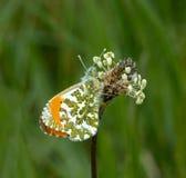 Papillon orange de bout Photographie stock