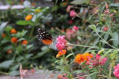 Papillon orange et blanc noir dans le saint Louis Zoo Images stock