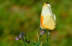 Papillon orange sur la fleur pourpre Images stock