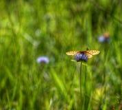Papillon orange sur la fleur pourpre, droite Photographie stock