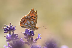 Papillon orange sur la lavande Images libres de droits