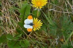 Papillon orange sur le pissenlit jaune Photos libres de droits