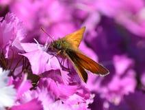 Papillon orange sur les fleurs roses Photo libre de droits