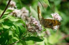 Papillon orange sur une fleur Photographie stock libre de droits