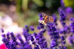 Papillon orange Vanessa Cardui et abeille sur la fleur de lavande Fleur aromathic pourpre avec des animaux d'insecte Temps d'été, photographie stock libre de droits