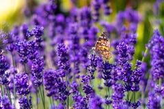 Papillon orange Vanessa Cardui et abeille sur la fleur de lavande Fleur aromathic pourpre avec des animaux d'insecte Temps d'été, photos stock