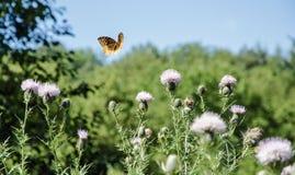 Papillon orné de paillettes de fritillaire en vol dans un pré photographie stock libre de droits